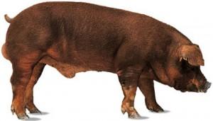 Cerdo de raza duroc.